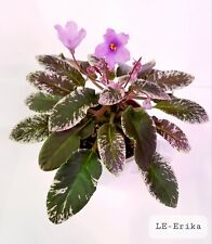 African Violet Le Erika - Starter Plant