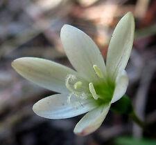 Geissorhiza inconspicua     10  seeds