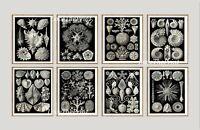 Unframed Sea Shells Print Set of 8 Antique Black and White Bathroom Wall Art