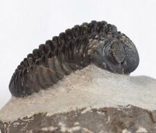 Trilobite Phacops sp. Fossil - Morocco