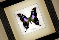 Purple spotted swallowtail ( Graphium weiskei ) real framed butterfly insect