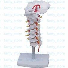 1pcs Cervical Vertebra Arteria Spine Spinal Nerves Anatomical Model Anatomy A404