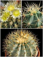 10 Samen der Ferocactus glaucescens,Sukkulenten,seeds succulents G5