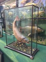 Trout. Taxidermy Fish. Cased Fish. Stuffed Fish. Mounted Fish.