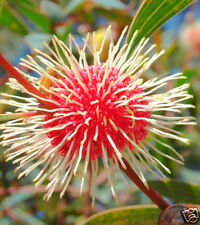 Sea Urchin Hakea Seed Evergreen Shrub Drought Resistant Striking Winter Flower