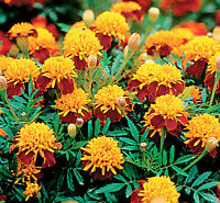 Marigold Seeds, Tiger Eyes, Yellow Marigolds, Red Marigold, Heirloom Seeds 75ct