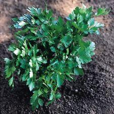 Herb - Parsley Italian Giant - 8000 Seeds