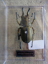 Allotopus rosenbergi riproduzione insetto serie De agostini editore