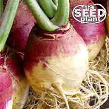 Amer. Purple Top Rutabaga Turnip Seeds - 500 SEEDS NON-GMO