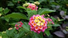 Fairy Flower Seeds x 20 Lantana Camara Flower, Tropical heavy blooming plant