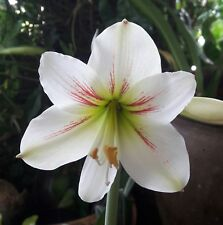 Amaryllis Bulb, Thai Strip 'Hippeastrum', Star Lily Christmas Flower(as picture)