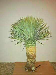 YUCCA ROSTRATA exotic blue color joshua tree hardy desert cacti 24 to 30 inchs