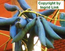 Blaue Gurken ernten im eigenen Garten: ein Genuss, schmecken saftig !
