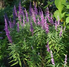 Mexican Bush Sage (Salvia leucantha) Pint Plant