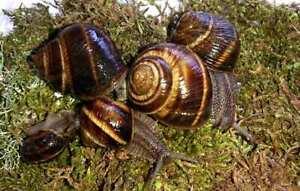 #3 Land Snails Helix lucorum ~4cm