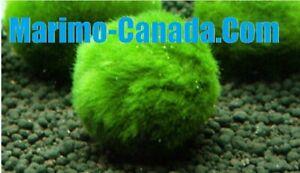 December Deal!! 10x 2cm 1'' A Grade Marimo Moss Ball Live Aquarium Plant