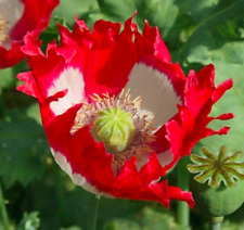 "Mohn Mohnblume ""dänischer Zwerg"" Samen rot weiß Blumensamen"
