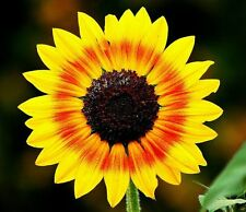 Miniature Solar Eclipse Sunflower Seeds (RARE) Exotic - Wild - Fresh Seeds -