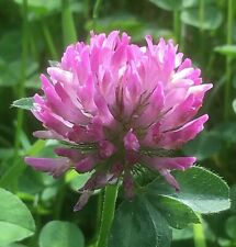 Red Clover Wild Flower Plants Native Bee Insect Friendly Garden Lawn Perennial