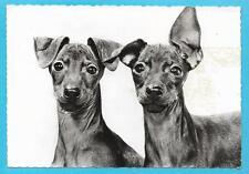 Publicité Pharma GENOLINE 1959 : CHIEN TOY TERRIER + Carte postale N° 5 C