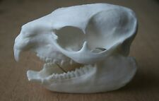 Hyrax Animal Skull Replica Taxidermy Study Unusual Ornament Gift Halloween