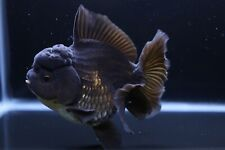 New listing Live Black Rosetail Oranda Fancy Goldfish #9 + Video In Description