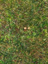 Zamia fischeri (the real fischeri, no vazquezii!), 2 fresh seeds