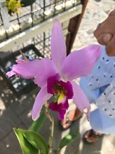 Laelia anceps 'Early Rose' Rare Orchid Species