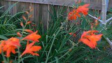 Crocosmia Bulbs red/deep orange colour