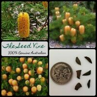 20+ HAIRPIN BANKSIA SEEDS (Banksia spinulosa) Birthday Candles Australian native