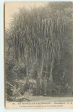 Nouvelle Calédonie - Pandanus - Cet arbre pousse en abondance sur le bord