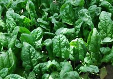 Spinach Seeds- Organic- Giant Nobel- 200+   2019 Seeds $1.69 Max. Shipping