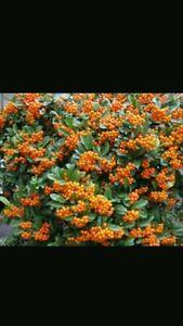 Pyracantha orange glow 5 plants in 10.5cm pots 30cm /1 ft tall