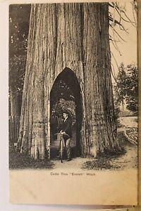 Washington WA Everett Cedar Tree Postcard Old Vintage Card View Standard Post PC