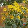 25 Cup Plant Silphium perfoliatum Flower Seeds - Beautiful! Sunflower COMB S/H