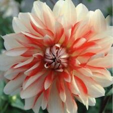 Special Dahlia Bulb/Tuber Decorative Dahlia 'Penny Lane' Prins Bulbs