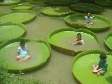 Victoria Amazonica Giant Waterlily Seed, Professional Pack, 5 Seeds / Pack