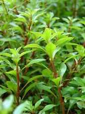 rare !! ludwigia palustris plante facile  verte
