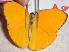 Pieridae Phoebis species Ecuador #Ma-31 Butterfly Insect Moth Delias Colias