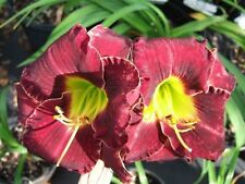 Daylily Plant Rue Madelaine Perennial Carr Double Fan Flower Purple Zone 5