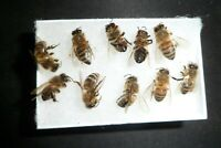 🌟🌟🌟🌟🌟🐝 12 REAL Honey Bees  {{{ DRYED }}}  SPECIMEN INSECT TAXIDERMY *