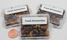 Acrylic Box of Ammonites fossils Case Pack 3