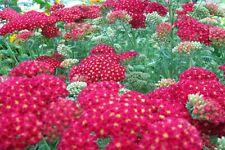 Rote Schafgarbe Achilea millefolium Kirschkönigin Sommerblüher