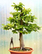 Bonsai-Bäume mit Hainbuchen (Carpinus)