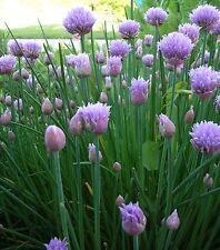 Chives Seeds- Herb Seeds- 300+ 2017 Seeds       $1.69 Max. Shipping per Order!