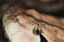 New listing Gaboon Viper Emergency Venomous Bite Protocol Snakebite Treatment Reptile Snakes