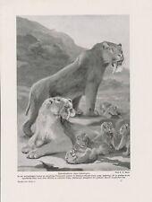 Denti a sciabola Tiger Smilodon maschi femmine giovani pressione di 1912 Saber-toothed cat