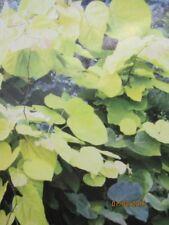 Kanadischer Judasbaum Melon Beauty - Cercis canadensis Melon Beauty