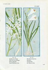 1900s SMALL MOUNTAIN LILY and ST.BRUNO'S LILY FLOWERS Litho Print Henry Correvon