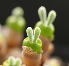 Rare succulent, Monilaria moniliforme 10 seeds
